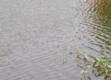 Tronco del blanco de col del pantano, correhuela del agua Fotografía de archivo libre de regalías