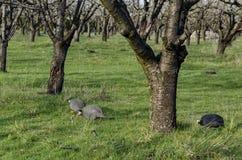 Tronco del frutteto di ciliegia nella primavera, sguardo da vicino Fotografia Stock Libera da Diritti