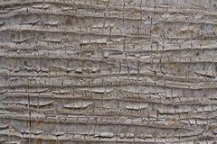 Tronco del gris de la palma Imagen de archivo libre de regalías