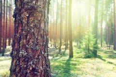 Tronco del pino Fotografía de archivo libre de regalías