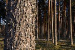 Tronco del pino Foto de archivo