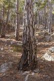 Tronco del pino e dell'abetaia nella priorità alta Immagini Stock
