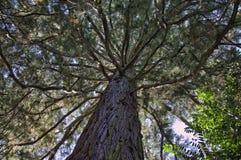 tronco del pino grande - y de x22; focus& suave x22; , artístico formado Foto de archivo