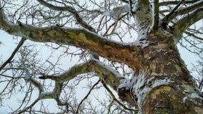 Tronco del sicómoro cubierto con nieve Foto de archivo libre de regalías
