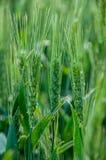 Tronco del trigo Foto de archivo libre de regalías