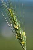 Tronco del trigo Imagen de archivo libre de regalías