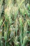 Tronco del trigo Fotografía de archivo