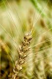 Tronco del trigo Fotografía de archivo libre de regalías