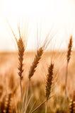 Tronco del trigo en el calor del verano Foto de archivo