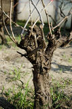 Tronco del viñedo Imagenes de archivo