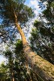 Tronco dell'albero di pinus sylvestris del pino scozzese o scozzese che cresce nella foresta Fotografie Stock