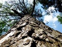 Tronco dell'albero qui sotto verso l'alto Pino molto vecchio Sui precedenti del cielo con le nuvole Immagine Stock Libera da Diritti