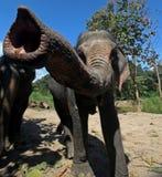 Tronco dell'elefante Fotografia Stock