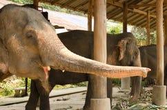 Tronco dell'elefante Fotografie Stock