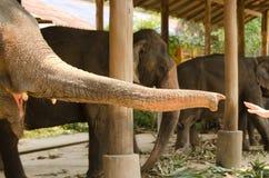 Tronco dell'elefante Fotografie Stock Libere da Diritti