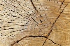 Tronco dell'eucalyptus immagine stock libera da diritti