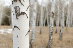 Tronco della betulla nella priorità alta tagliente e gli alberi vaghi nei precedenti Fotografie Stock Libere da Diritti