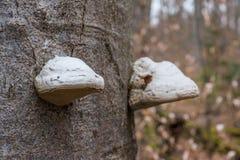 Tronco della corteccia di albero con i funghi Forest Closeup Biology Botany Whi Immagine Stock