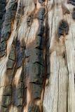 Tronco di albero brucciacchiato sulla traccia superiore del ciclo di Bristlecone, Mt Charleston, Nevada fotografia stock libera da diritti