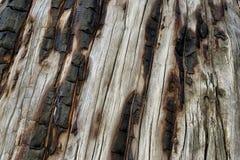 Tronco di albero brucciacchiato sulla traccia superiore del ciclo di Bristlecone, Mt Charleston, Nevada fotografia stock