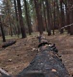 Tronco di albero bruciato in parco nazionale, U.S.A. fotografia stock