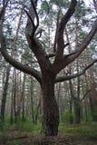 Tronco di albero con la ramificazione nella foresta fotografia stock