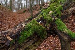 Tronco di albero con muschio Immagine Stock