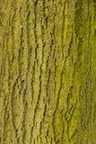 Tronco di albero con muschio o il lichene - raggiro Musgos o Li di Tronco de Arbol Fotografia Stock Libera da Diritti