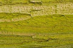 Tronco di albero con muschio o il lichene - raggiro Musgos o Li di Tronco de Arbol Immagini Stock