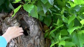 Tronco di albero con una cavità sui precedenti delle foglie verdi di estate archivi video