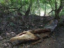 Tronco di albero di decomposizione nel legno immagini stock libere da diritti