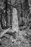Tronco di albero decomposto alle sorgenti calde di Bagby fotografie stock libere da diritti