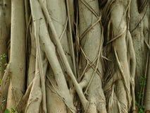 Tronco di albero del banyan Fotografia Stock