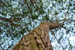 Tronco di albero del salice, rami, fogliame Fotografia Stock Libera da Diritti