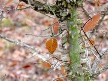 Tronco di albero dell'olmo e rami e foglie alati Fotografia Stock