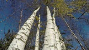 Tronco di albero della betulla bianca di tempo di ottobre di autunno e vento, lasso di tempo 4K video d archivio