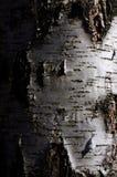 Tronco di albero della betulla nell'illuminazione laterale drammatica di pendenza Immagine Stock