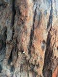 Tronco di albero della corteccia Fotografie Stock Libere da Diritti