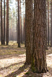 Tronco di albero due Immagine Stock