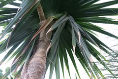 Tronco di albero e foglie del Pandanaceae di Utilis del Pandanus, albero di vite del Madagascar Fotografia Stock