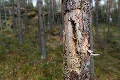 Tronco di albero infestato dagli insetti Fotografie Stock Libere da Diritti