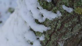 Tronco di albero innevato nella foresta all'inverno, corteccia del primo piano video d archivio