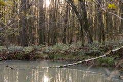 Tronco di albero morto in piccolo stagno con acqua lattea in foresta fotografia stock libera da diritti