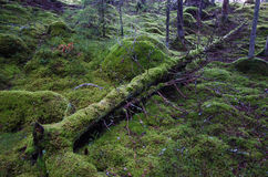 Tronco di albero muscoso caduto immagine stock libera da diritti