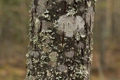 Tronco di albero muscoso con il fondo vago della foresta fotografie stock