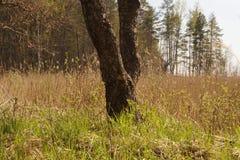 Tronco di albero nei precedenti della foresta Fotografie Stock