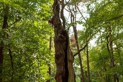 Tronco di albero rotto nella foresta olandese della molla immagine stock libera da diritti