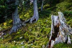 Tronco di albero Scavato-fuori e sopravvissuto Fotografia Stock Libera da Diritti
