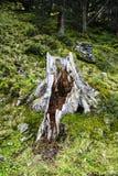 Tronco di albero Scavato-fuori e sopravvissuto Immagine Stock