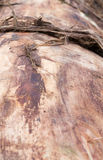 Tronco di albero senza corteccia fondo, prospettiva immagine stock